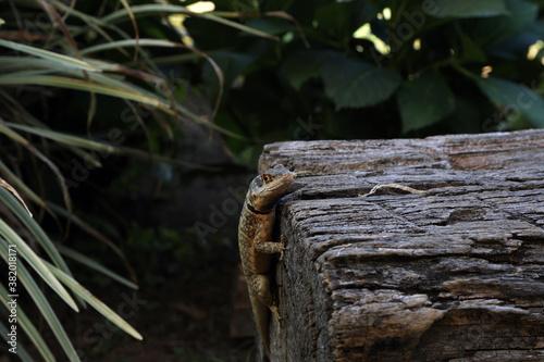 Fotografiet lizard on the trunk