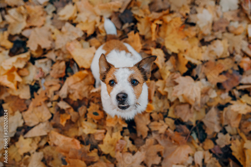 dog in yellow leaves. Happy jack russell terrier in nature in autumn park