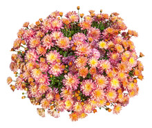 Cut Out Chrysanthemum. Bouquet Of Orange Flowers Isolated On White Background. Flower Bed For Garden Design Or Landscaping.