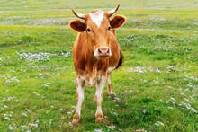 Beautiful Young Cow Is Grazing...