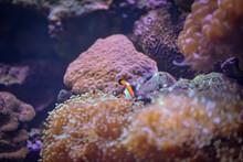 Red Sea Anemone