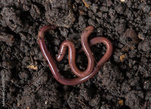 Foto Earthworms (Dendrobena Veneta) in black soil