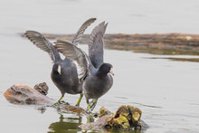 Pair Of American Coots Quarrel Over Rights To A Log