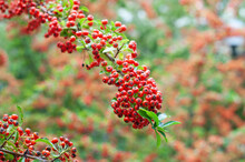 The Red Berries At A Twig Of Pyracantha