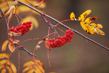 A Rowan Branch With Red Berrie...