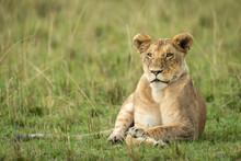 Lioness Lying In Green Grass W...