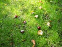Conkers Fallen From A Tree In ...
