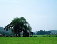 芦野の遊行柳