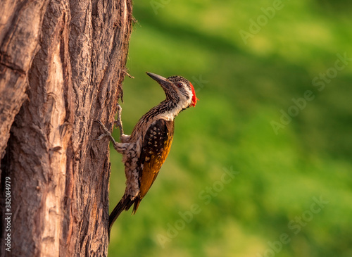 The black-rumped flameback, also known as the lesser golden-backed woodpecker or lesser goldenback, is a woodpecker found widely distributed in the Indian subcontinent. It is one of the few woodpecker