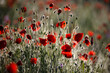 Poppy flowers in spring, may