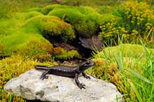Lanza's Alpine Salamander / La...