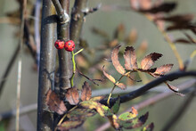 Limp Rowan Berries On A Dry Au...
