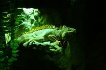 Beautiful Photo Of An Iguana, ...