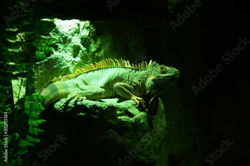 Fotografie, Obraz Beautiful photo of an iguana, can be used as a background