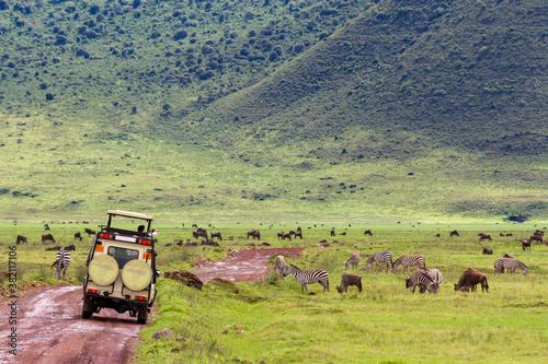 Naklejka premium Tierbeobachtung aus dem Auto von unzähligen Gnus und Zebras im Krater des Ngorongoro-Nationalparks im Norden Tansanias