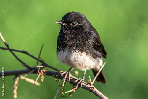 pied bush chat in wildlife reserves in Pakistan