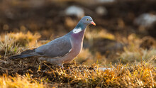 Common Wood Pigeon, Columba Pa...