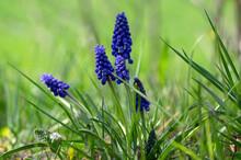Muscari Armeniacum Flowering P...