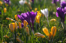 Field Of Flowering Crocus Vern...