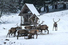 Majestic A Herd Of  Red Deers (cervus Elaphus) Eats From A Deer Feeder. Beautiful Winter Country Frozen Morning. Hunger Animals