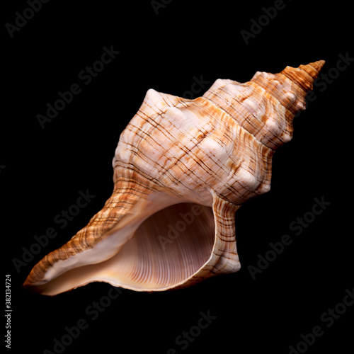 Pleuroploca trapezium, trapezium horse conch shell isolated on black Fototapet