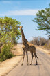 canvas print picture - Single adult South African or Cape giraffe crossing a road in Kruger National Park, South Africa.