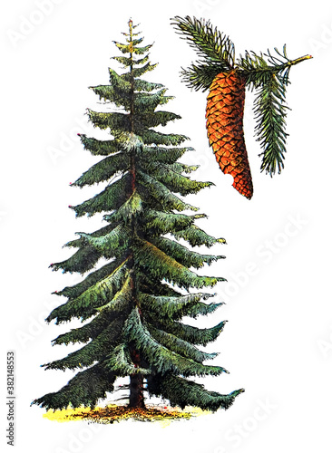 Wallpaper Mural Picea abies (Pinaceae) / Antique engraved illustration from from La Rousse XX Sc