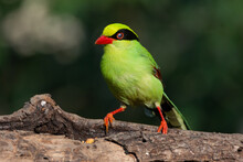 Common Green Magpie Perched A ...
