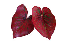 Red With Green Veins Caladium Fancy Leaved Tropical Foliage Plant Leaves Popular Houseplant Isolated On White Background, Clipping Path Included.