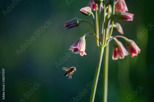Fotomural Biene im Anflug auf Glockenartige rote Blume unscharfer Hintergrund, Sommer