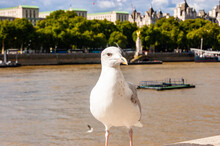 Common White Seagull Bird Sitt...