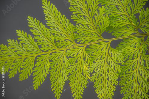 Obraz na plátně folha de samambaia verde e bem bonita que pode ser usada para fundos e texturas