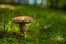 Brown Mushroom Growing In Green Moss