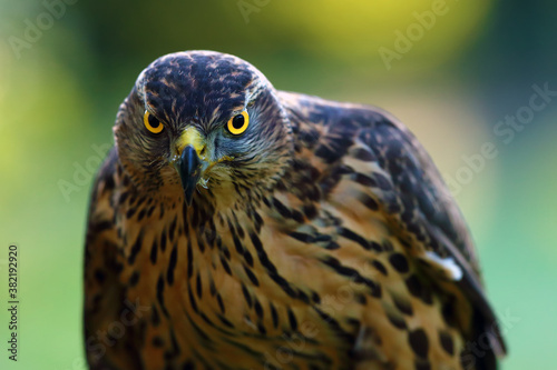 Fotomural The northern goshawk (Accipiter gentilis), portrait of a young female hawk with colorful background