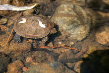 Small Turtle Underwater In A Creek