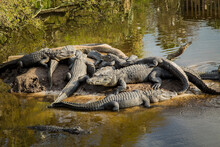 American Alligators Resting In...