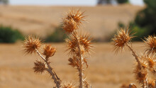 A Field Full Of Dried Thorns, ...