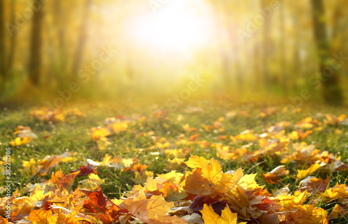 Fototapeta Sunlight in autumn forest. Colorful  foliage in the park. Falling  leaves natural background.Beautiful autumn landscape with yellow trees,green grass and sun. obraz