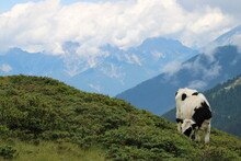 Cows In The Austrian Alps