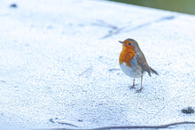 Little Robin Red Breast On A F...