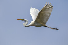 A Great Egret In Flight To A R...