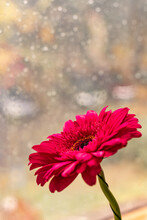 Pink Gerber Daisies With Window Glass Covered With Raindrops