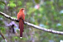 Squirrel Cuckoo (Piaya Cayana)...