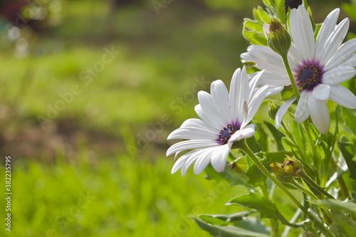 Obraz na plátně Flor blanca en jardín verde