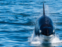 Transient Killer Whale (Orcinus Orca), Power Lunging, Monterey Bay National Marine Sanctuary, California, United States Of America
