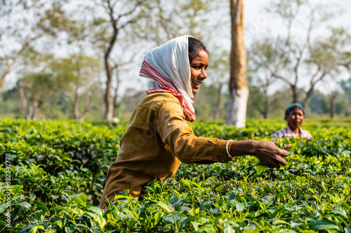 Women picking tea from the tea plants on a tea plantation, Assam, India