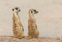 Meerkats (Suricata Suricatta), Kgalagadi Transfrontier Park