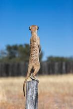 Meerkat (Suricata Suricatta) Sentry, Kgalagadi Transfrontier Park, Northern Cape