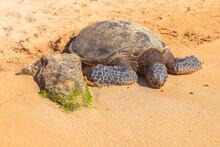 Hawaiian Sea Turtle (Green Sea...