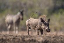 Warthog (Phacochoerus Africanus), Mashatu Game Reserve, Botswana